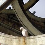 Sevilla: Palomas en el Puente de Triana [Foto]