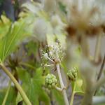 Introducción a los filtros digitales: Flor de Aralia [Imagen][Blender]