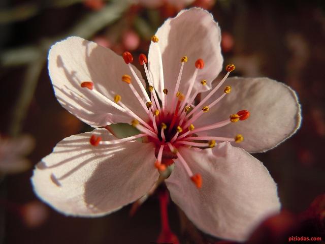 flor pruno