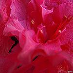 Rojo Azalea [Imagen]