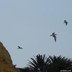 aves_gaviotas